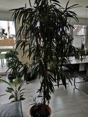 letzte Gelegenheit- große Zimmerpflanze Ficus-Gattung