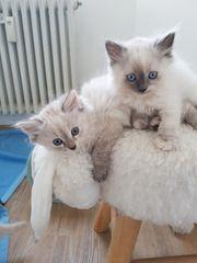 Sibirische Nevas Reinrassig Kätzin ihre