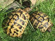 Griechische Landschildkröten aus Nachzucht