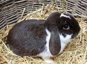 Kaninchen Widder Zwergwidder Häsin havanna-weiss