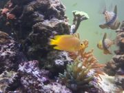 Pomacentrus amboinensis Ambon-DemoiselleMeerwasser Koralle