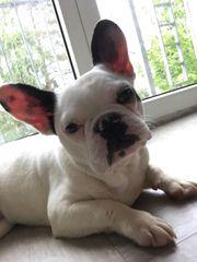 Französische Bulldogge 8monate rüde