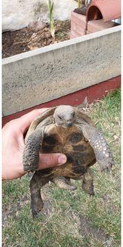 Griechische Landschildkröte 20 jahre alt