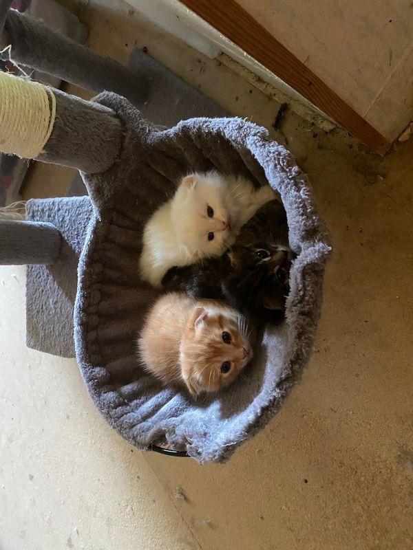 Kleine Britische Langhaar und BKH Kätzchen ( Fold ) abzugeben