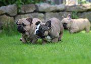 Französische Bulldogge Welpe Rüde Hündin