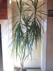 Drachenbaum Dracaena Marginata 3er Tuff