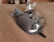 Süsse BKH Kätzchen