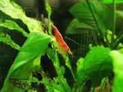 Garnelen Red Fire fürs Aquarium