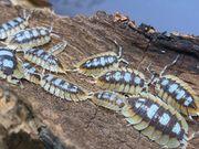 Asseln Armadillidium Porcellio Cubaris Zierasseln