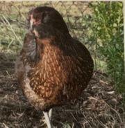 Hühner Vögel Masthühner Legehühner Grünleger