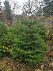 Weihnachtsbäume in an der Kultur