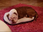 Reserviert OEB Old English Bulldog