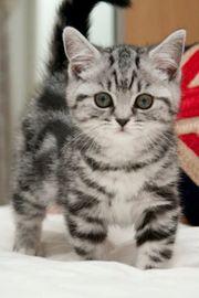 Süße Katzenbabies BKH black-silver-tabby-s potted