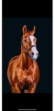 Reitbeteiligung für 21 jähriges Dressurpferd