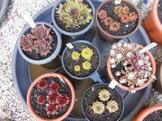 Dachwurz Hauswurz Sempervivum Pflanzen robust