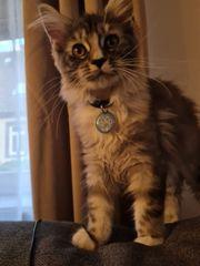 Maine Coon Kitte 15 Wochen