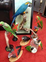 Präparat Taxidermy Präparate Papageien