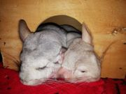 Chinchillas Tiere in Not Saar