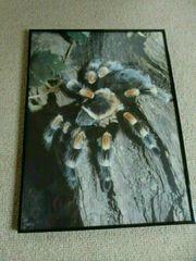 Bild Brachypelma hamorii Wandbild Vogelspinne