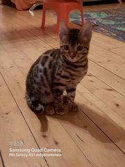 1 Bengal Kitten Mädchen Zucht