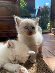 Nur noch zwei zauberhafte Birma-Kitten
