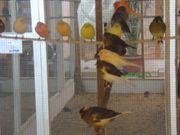 Kanarienvögel das Paar 30EUR