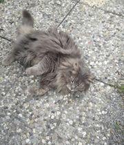 Dreibeinige wunderschöne Katze sucht ein