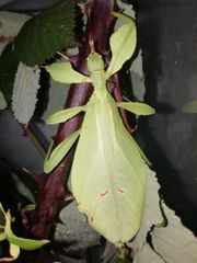 Wandelnde Blätter Eier