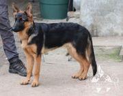 Deutscher Schäferhund JungRüde