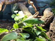Lamprolepis smaragdina 159EUR