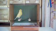 Verkaufe Farbkanarien gelbschimmel