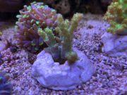 Meerwasser Koralle Sinularia gelb