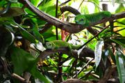 Phelsuma grandis - Großer Madagaskar-Taggecko