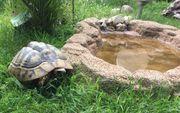 Schildkröte Griechisch Adult THB