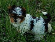 Biewer Yorkshire Terrier Hündinnen Welpen