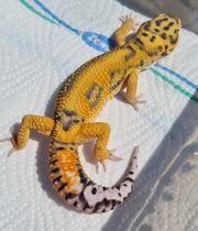 leopardgecko Tangerine Bold 1 0
