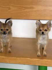 Pomchi Welpen pomeranian Chihuahua mix