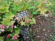 testudo hermanni hercigovinensis landschildkröten Nachzuchten