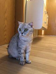 BKH Katze schwanger abzugeben