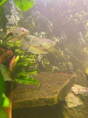 zwei Fadenfische