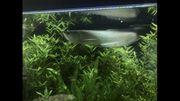 Silber Arowana 50cm