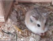 Hamster artgerecht halten Informationen