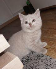 Reinrassige BKH Cinnamon Lilac Kitten