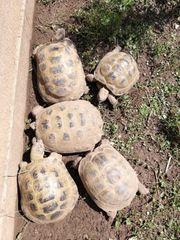 5 adulte Steppenschildkröten Vierzehenschildkröten