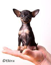 Russkiy Toy Russischer Toy Terrier