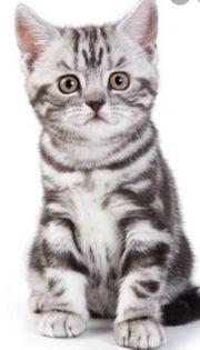 BKH Kitten männlich gesucht