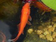 Goldfische und Shubunkins gesucht