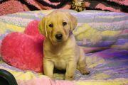 süße Labradorwelpen