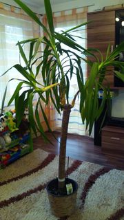Palme Yucca 195cm zu verkaufen