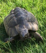 Zuchtpaar maurische Landschildkröten Testudo graeca